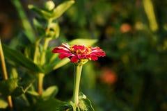 Fleur principale Photos libres de droits