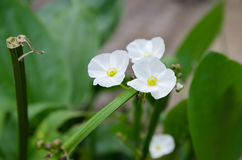 Fleur principale de fils d'ame de flèche Images libres de droits