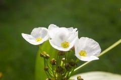 Fleur principale de fils d'ame de flèche Photo libre de droits