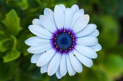 Fleur principale ou bleue Photographie stock
