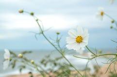 Fleur pure blanche sauvage 3 Image libre de droits
