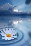 Fleur pure sur l'eau Images libres de droits