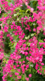 Fleur Pwgchmpo coloré de la fleur Images stock