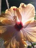 Fleur rétro-éclairée de ketmie Photo stock