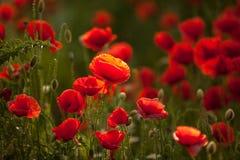 Fleur rétro-éclairée de pavot Photographie stock