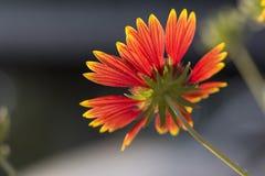 Fleur rétro-éclairée devant le fond foncé photographie stock libre de droits