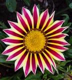 Fleur rayée Images libres de droits