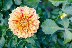 Fleur rayée jaune fleurissant sur le fond vert Autumn Chrysanthemum photo libre de droits