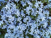 fleur, ressort, nature, fleurs, bleu, usine, crocus, violette, jardin, flore, beaut photographie stock