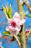 Fleur rose à l'arrière-plan bleu Photographie stock libre de droits