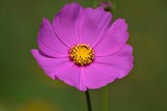 Fleur rose à l'arrière-plan vert jaunâtre Images libres de droits
