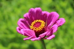 Fleur rose à la baie d'Ieranto, Massa Lubrense, Italie photo stock