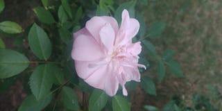 Fleur rose image stock
