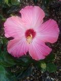 Fleur rose photographie stock libre de droits
