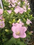 Fleur rose photographie stock