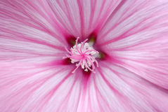 Fleur rose photos libres de droits