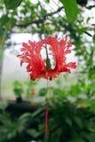Fleur rose accrochante Photo stock