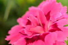 Fleur rose au printemps image libre de droits