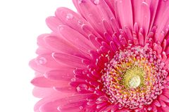 Fleur rose avec des baisses de rosée Images stock