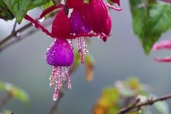 Fleur rose avec des gouttelettes d'eau Images libres de droits