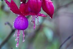 Fleur rose avec des gouttelettes d'eau Image libre de droits