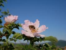 Fleur rose avec l'abeille là-dessus Rose sauvage rose ou le dogrose fleurit avec des feuilles sur le fond de ciel bleu Photos stock