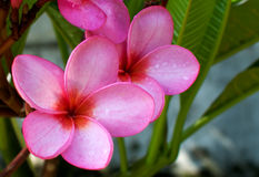 Fleur rose avec l'humidité image stock