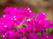 Fleur rose avec le fond brouill? photographie stock libre de droits