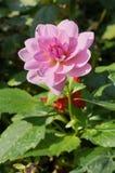 Fleur rose avec le fond vert Photographie stock libre de droits