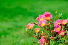 Fleur rose avec le fond vert de feuille, foyer mou Photos stock