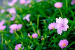 Fleur rose avec le fond vert de feuille, foyer mou Images libres de droits