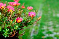 Fleur rose avec le fond vert de feuille, foyer mou Images stock