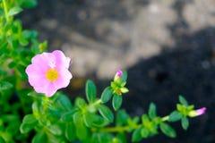 Fleur rose avec le fond vert de feuille, foyer mou Image stock