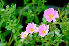 Fleur rose avec le fond vert de feuille, foyer mou Image libre de droits