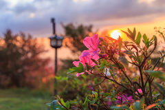 Fleur rose avec le lever de soleil Photographie stock libre de droits