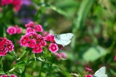 Fleur rose avec le papillon Photo stock
