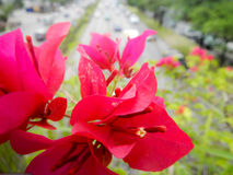 Fleur rose avec le trafic Image libre de droits