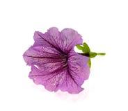 Fleur rose avec les veines violettes Image stock