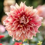 Fleur rose blanchâtre de dahlia photos stock