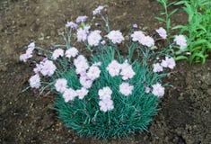 Fleur rose blanche d'oeillet en poussi?re d'?corce image stock