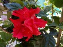 Fleur rose Chine photo libre de droits