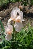 Fleur rose-clair d'iris germanique image stock