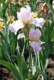 Fleur rose-clair d'iris germanique images libres de droits