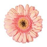 Fleur rose-clair de Gerbera d'isolement Photos stock