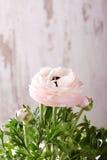 Fleur rose-clair de renoncule devant le mur blanc Photos stock