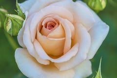 Fleur rose classique Images stock