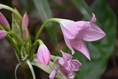 Fleur rose colorée dans le jardin botanique à Cape Town en Afrique du Sud Images stock