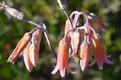 Fleur rose colorée dans le jardin botanique à Cape Town en Afrique du Sud Photos libres de droits