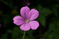 Fleur rose d'été Photographie stock libre de droits