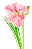 Fleur rose d'amaryllis sur le fond d'isolement par blanc Image stock